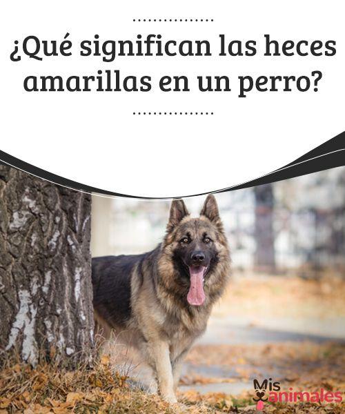 ¿Qué significan las heces amarillas en un perro? - Mis Animale  En las salidas con nuestro perro para que haga sus necesidades, estaremos atentos para no manchar jardines, parques, etc. Es necesario recoger las heces. #perro #salud #heces #amarillas