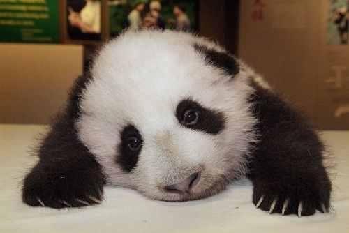 Panda triste.