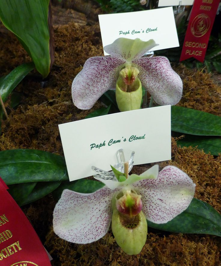 Paph Cam's Cloud orchid.  Creamed colored petals, with a yellower pouch, all dusted with fine raspberry spots.