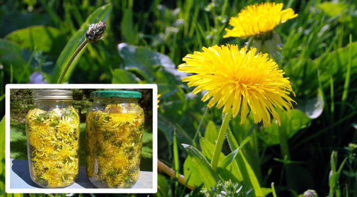 Pampeliškový sirup  Dandelion is an extremely beneficial plant, which effectively detoxifies the liver, treats allergies, has diuretic properties, lowers cholesterol, stimulates the formation of bile, and is extremely useful for pregnant and postmenopausal women.  The ideal time for picking dandelion is the beginning
