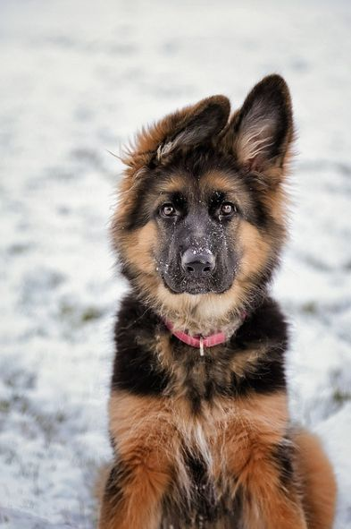 German Shepherd Pup Mais