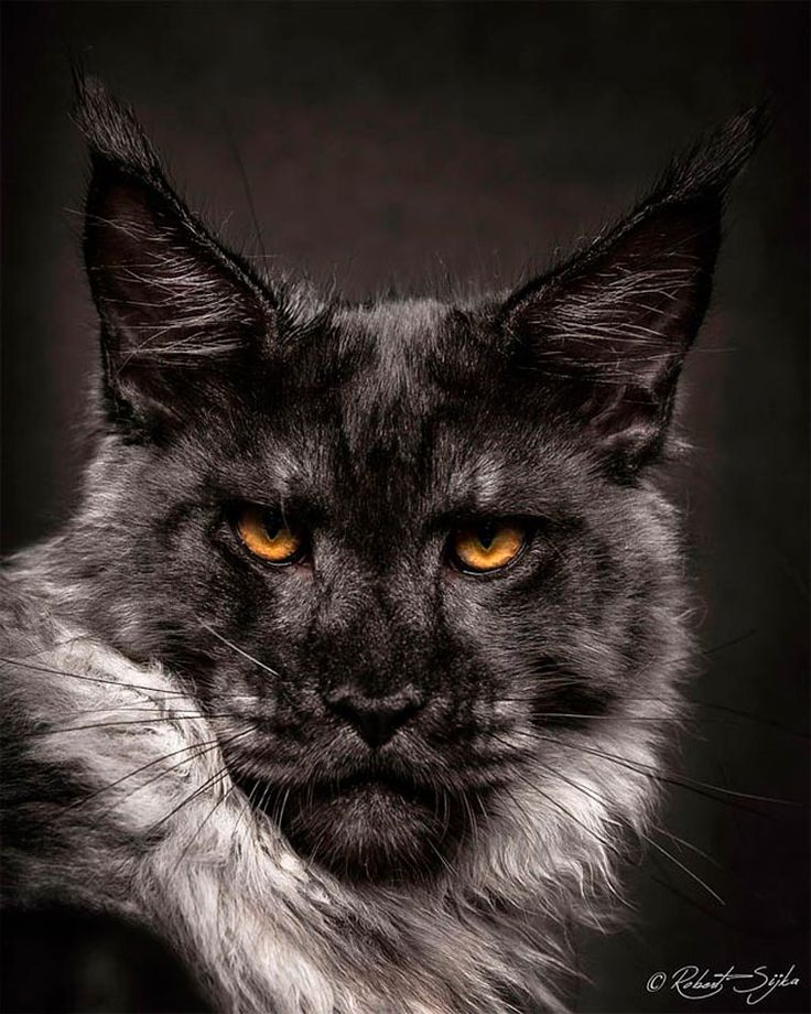 The Maine Coon is probably one of the most impressive cat breeds, starting with its size. The photographer Robert Sijka, based in Hong Kong, decided to pay tr