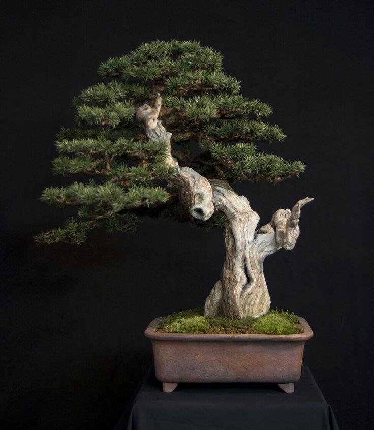 Patrick Bergsma My latest tree Pinus