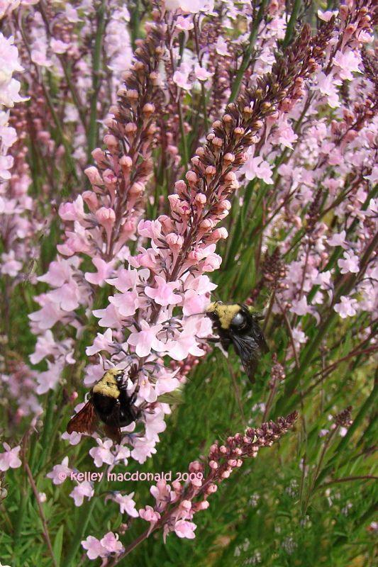 Toadflax 'Canon J. Went' (Linaria purpurea)