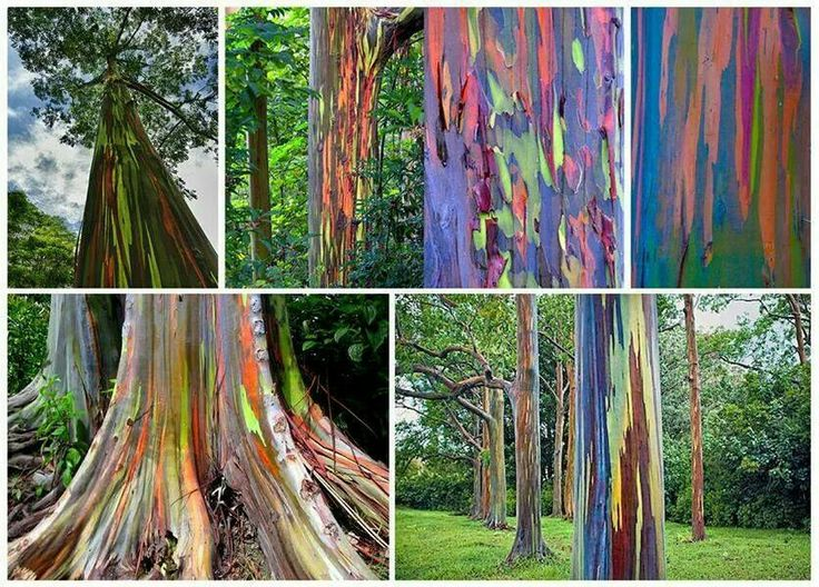 The most colorful tree in the world: The Rainbow Eucalyptus tree (Eucalyptus deglupta). Shared by Green Renaissance.