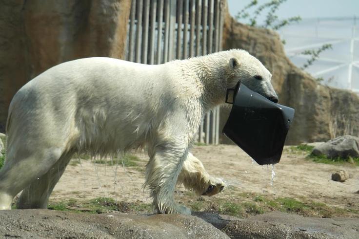 Op 22 oktober jongstleden verhuisde Vicks naar Orsa berenpark in Zweden om daar de winter door te brengen. Hij vermaakte zich daar prima in een gigantisch verblijf samen met een jong vrouwtje uit Ouwehands Dierenpark. Maar, 'de rechtmatige eigenaren' van het verblijf in Orsa park, de bruine beren, zijn inmiddels uit winterslaap gekomen en eisten hun verblijf weer op. Vicks (en zijn maatje) moesten dus weg uit het berenpark en konden nog niet worden ondergebracht in Mulhouse.