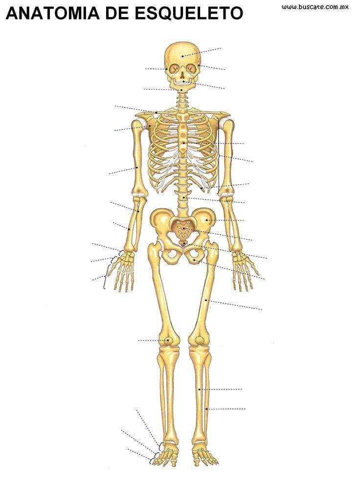 Anatomía del esqueleto humano sin nombres, a color. Para escribir ...