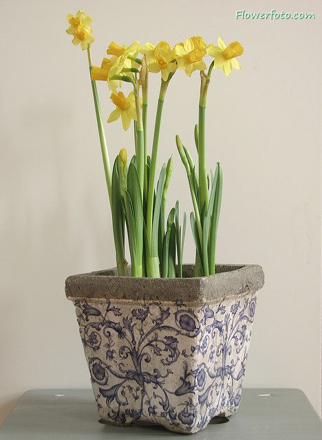 1000 Images About Daffodil On Pinterest Daffodil