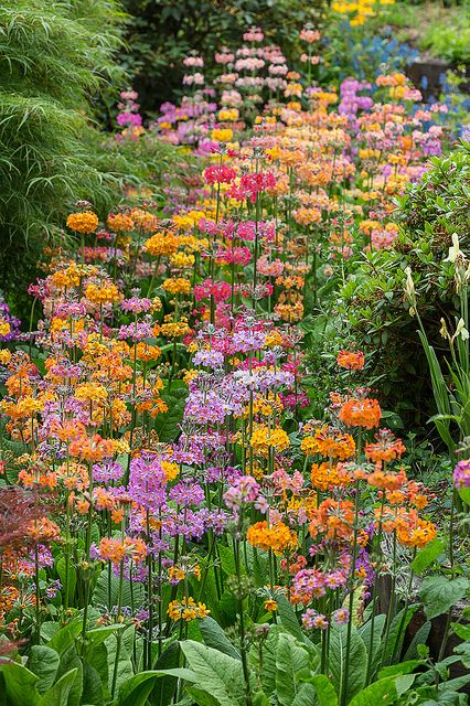 These are so easy to grow...you just scratch the seed into moist soil in a partly shaded garden. RHS Wisley ...Candelabra primula