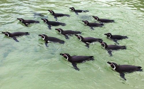 Humboldt penguins carry out their synchronised swimming technical routine at Drusillas Park, East Sussex Picture: Drusillas Park