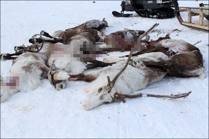 #RUSSIA #SWD #GREEN2STAY Slaughter of the reindeer: who killed prized animals in Arctic bloodbath? By The Siberian Times reporter10 April 2016 Up to 30 shot dead after winning traditional spring reindeer races in remote Tiksi.