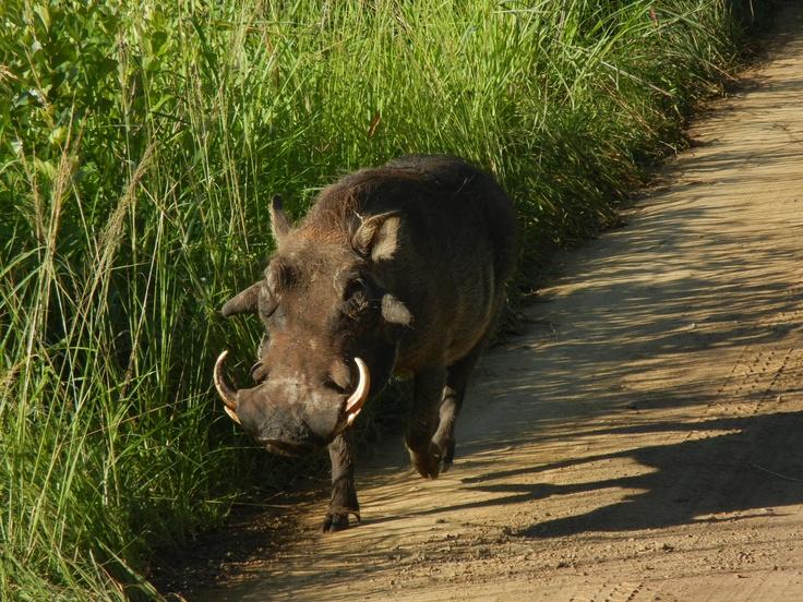 Warthog exercising right of way, Hluhluwe N.P.