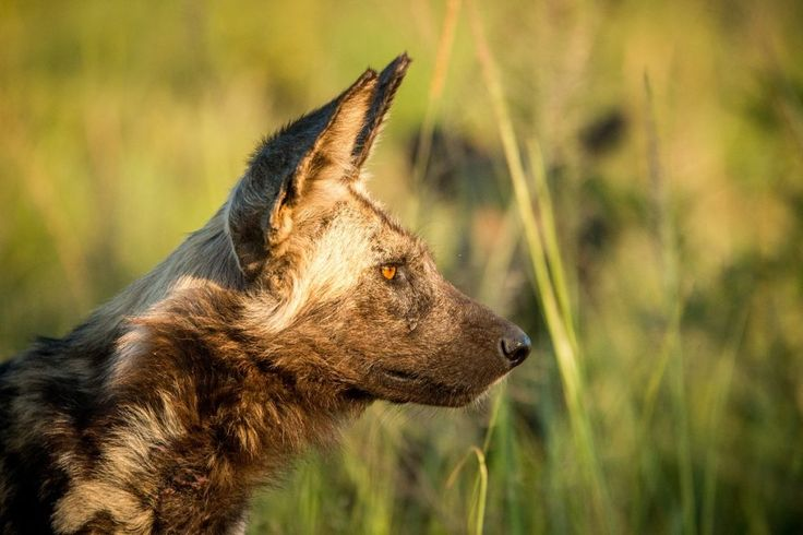 Wild dogs | African Dogs in Hwange