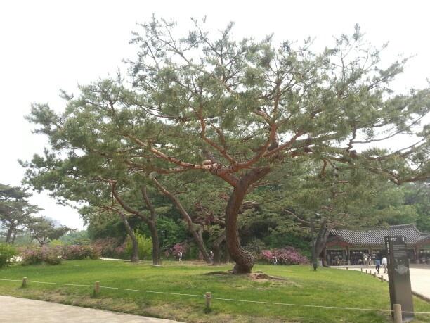 역사의 세월을 아무말없이 지켜본 나무