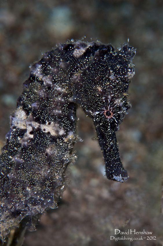 Oltre 25 fantastiche idee su cavallucci marini su pinterest - Colorazione cavallucci marini in ...