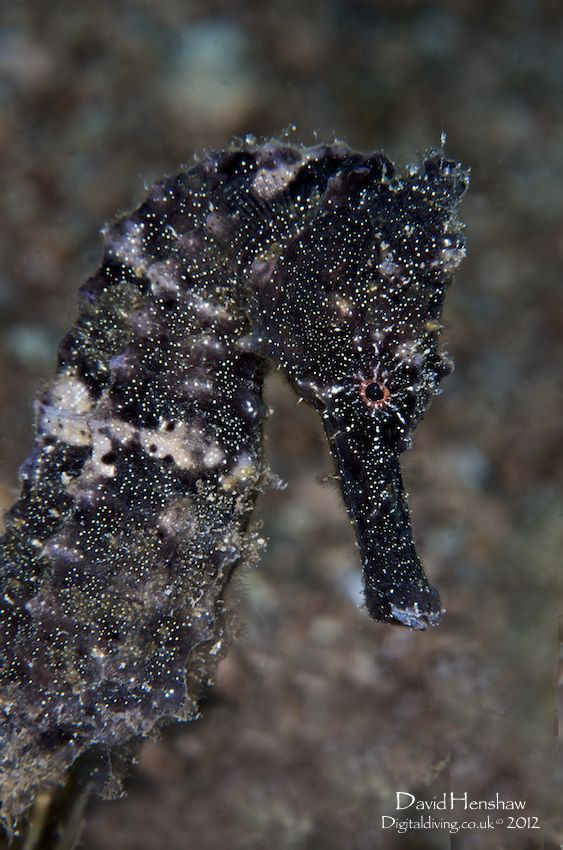 sea horse is a small bony  fish closely related to the pipefish. 1/2 to 14 inches long depending on the species.