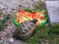 Learn the secrets to replicating what your Russian (Horsefield) tortoise would eat in the wild. This is what you must be feeding him to peak health and happiness!!!: