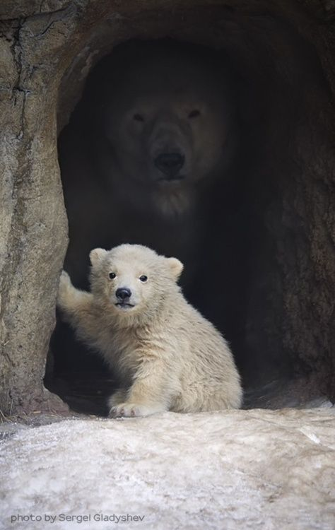 A polar bear's mom watches over her cub as he gets his picture taken. - Imgur