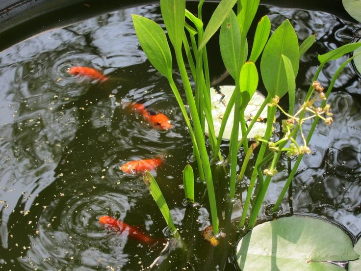 13 best images about water gardening with fish on for Container ponds with fish