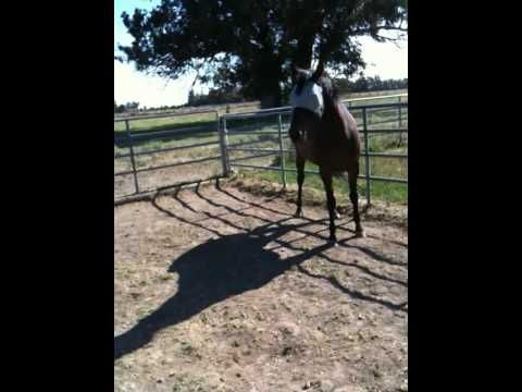 How to correct a horse who is disrespectful, food protective or ear pinning - Rick Gore Horsemanship