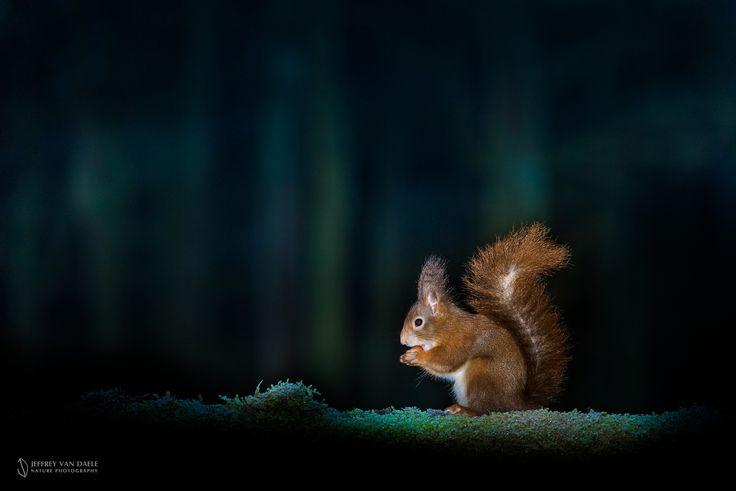 Squirrel by Jeffrey Van Daele on 500px