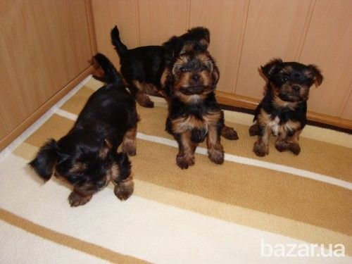 Щенки Йоркширского терьера - Собаки Киев на Bazar.ua