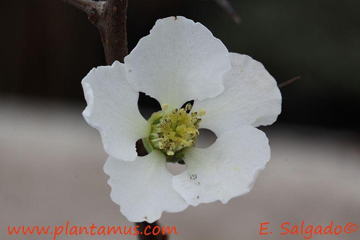 Chaenomeles. www.plantamus.es