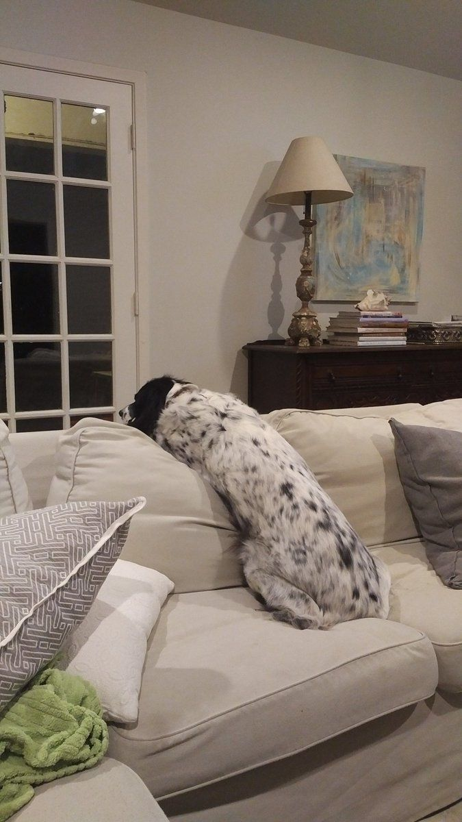 """English Setter ~ Classic """"Perched in Comfort"""" Look"""