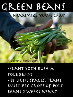 Maximize Your Green Bean Crop from Traditional-Foods.com