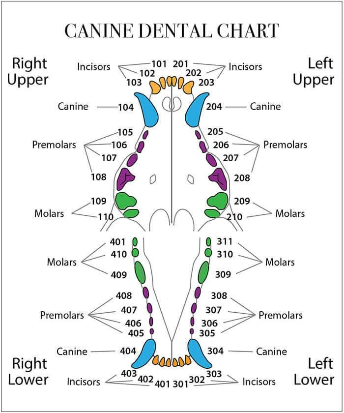 Pin By Krista Irace On Dental Tooth Chart Baby Tooth Chart Canine Dental