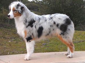 Very pretty blue merle Australian shepherd
