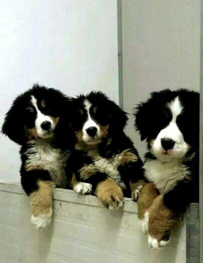 Berner cuties