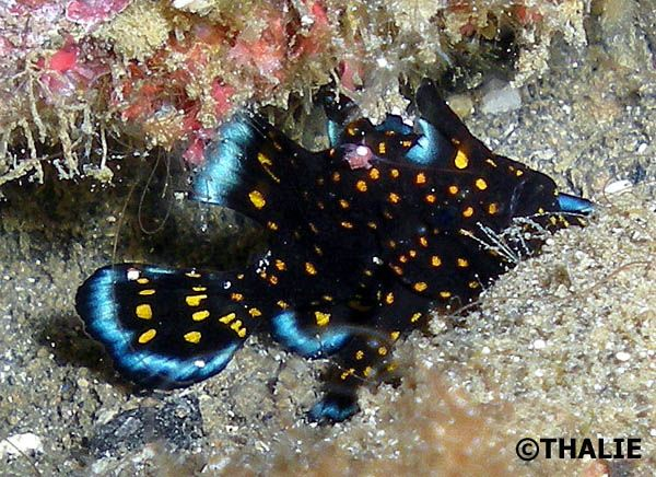 Never seen one... a juvenile painted frogfish. Added Alor, Indonesia to my dive sites to visit in future!