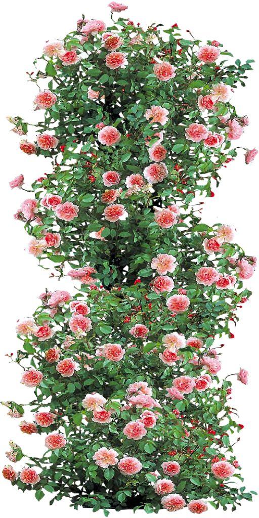 Anne Boleyn Climbing Rose by LilipilySpirit on DeviantArt