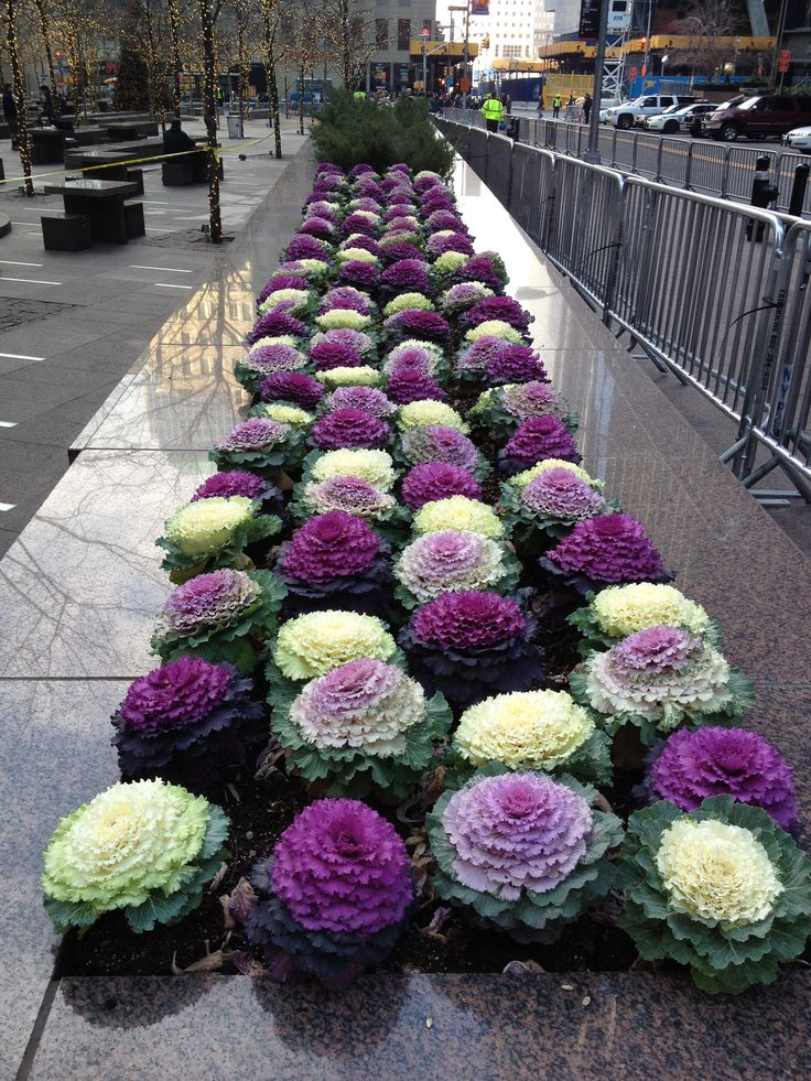 Ornamental cabbages in NYC...  I have these in purple of course...
