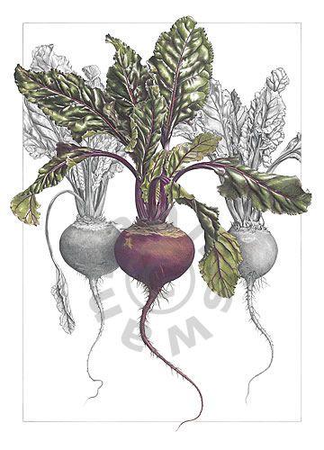 botanical art pencil drawing - Google Search