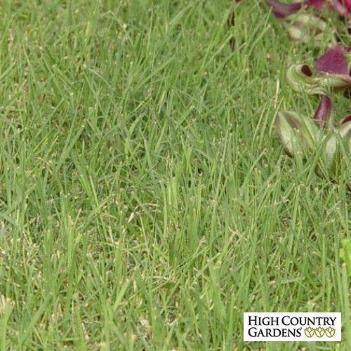 Buchloe dactyloides Prestige Plugs, Buchloe dactyloides Prestige, Prestige Buffalo Grass Plugs for South and Southeast