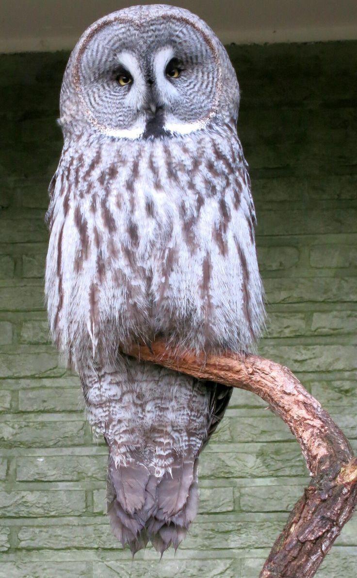 Een laplanduil. Deze foto is ook genomen in Antwerpen zoo  A great grey owl. Took this picture also in Antwerpen zoo.  Taken with: Canon Powershot S110