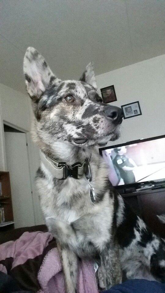 Rosco German Shepherd mixed with australian cattle dog