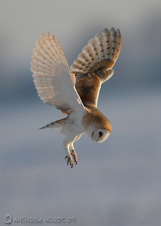 Magnificent Barn Owl !!