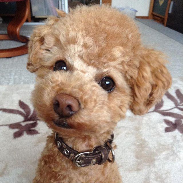 「そろそろお散歩ではないですか?」顔。 朝は寒いのか全力拒否だったのに、夕方は走る気満々。 公園は朝しか🐶🐶🐶集まらないよ。  #トイプードル #ラッキー #愛犬 #トイプードル男の子  #トイプードルレッド  #トイプードル🐩  #愛犬部  #愛犬との暮らし  #犬  #散歩  #犬🐶