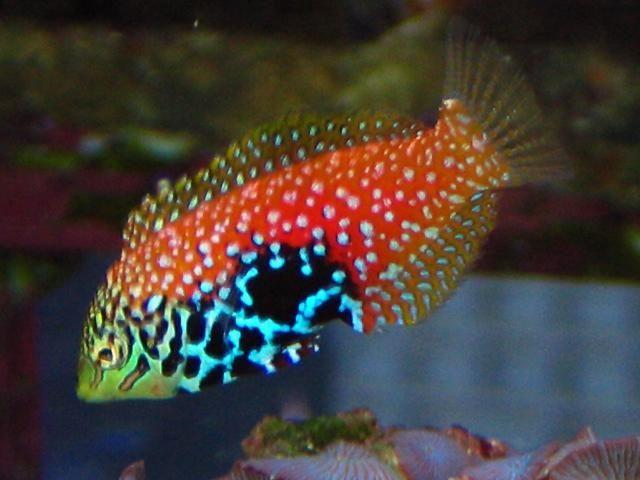 Reef Safe Saltwater Fish Saltwater Reef Safe Wrasses For Sale Online Saltwater Aquarium Saltwater Aquarium Fish Saltwater Fish Tanks