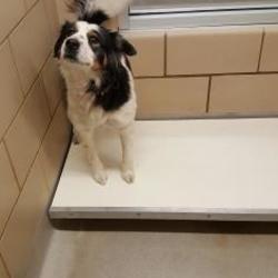 Mesquite, Texas - Border Collie. Meet Biscuit, a for adoption. https://www.adoptapet.com/pet/20759324-mesquite-texas-border-collie-mix
