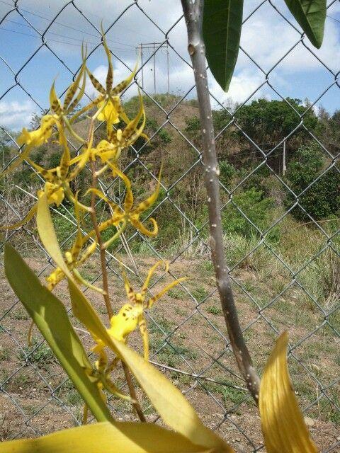 Orquide Araña-amarilla.