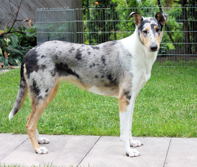 55 best images about smooth collies on pinterest coats smooth and smooth collie. Black Bedroom Furniture Sets. Home Design Ideas