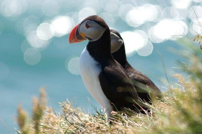 Papegaaiduikers kijken uit over de oceaan vanaf de rots Dýrholæy in IJsland