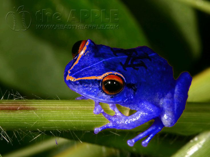 Puerto Rican Frog | ... Causing Strange Behavior In Puerto Rican Wildlife, Scientists Baffled