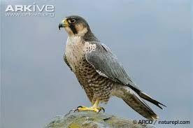Výsledok vyhľadávania obrázkov pre dopyt falco peregrinus