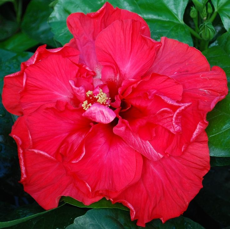 Mon Ami hibiscus - Big Bad Flower