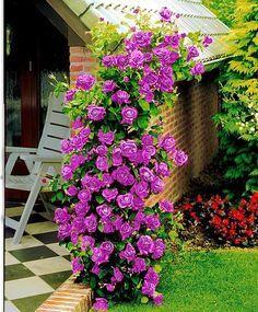Sementes Flor Rosa Trepadeira Roxa Lilas P/ Mudas Importadas - R$ 7,90